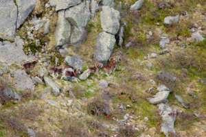 Dénombrement de mouflon corses - massif de Bavella