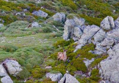 Comptage de mouflons en Corse avec Corse Hélicoptère