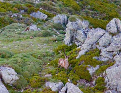 Comptage des mouflons dans le massif de Bavella avec l'ONCFS